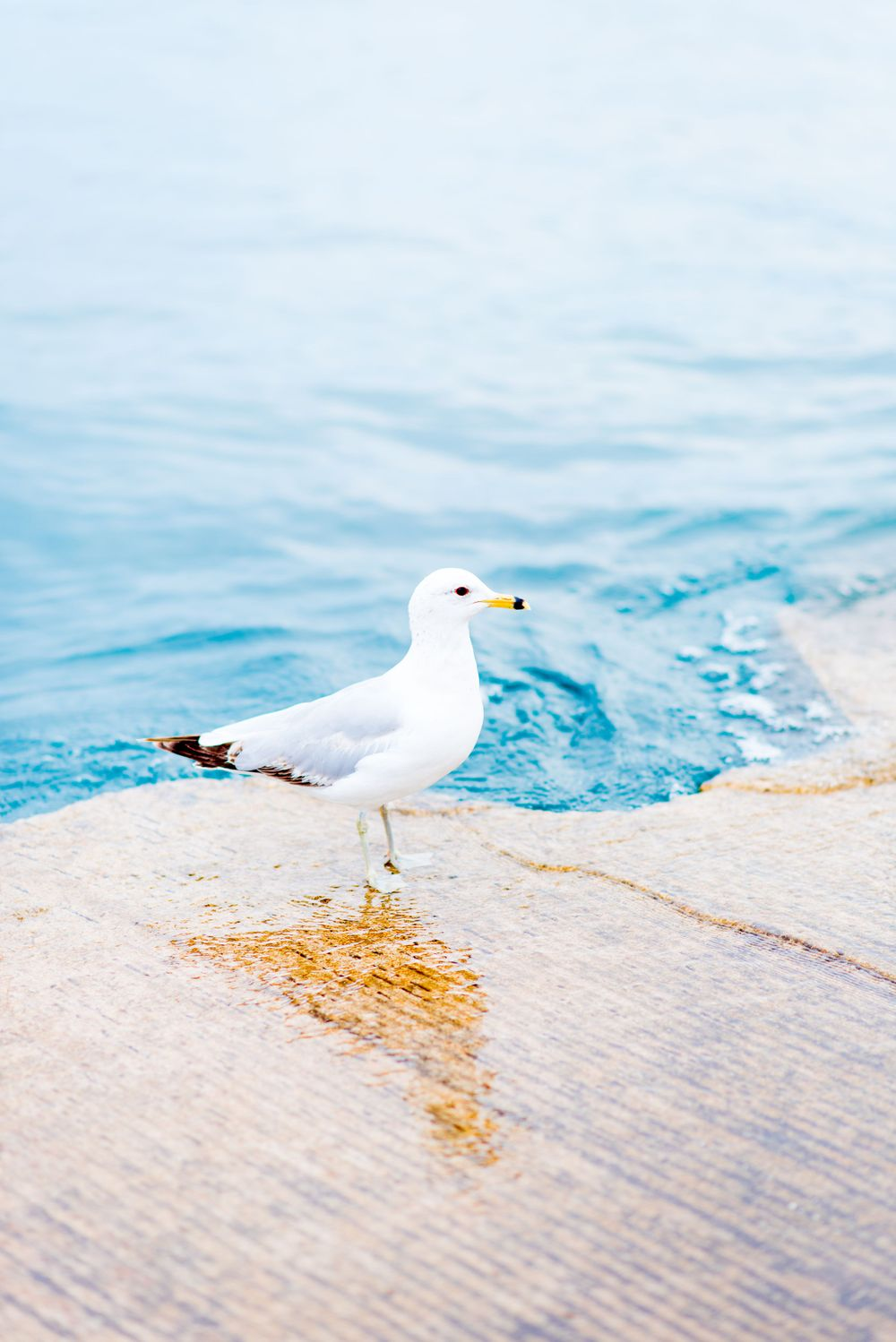 white seagull at the edge of Lake Michigan's blue water