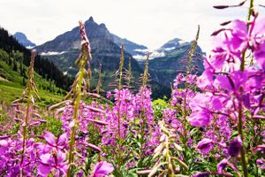 I climbed a mountain to get these gorgeous flowers in the shot! :) Glacier National Park in July