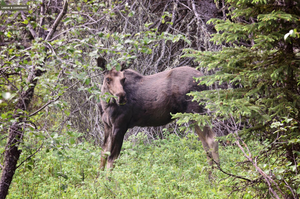 Moose in Yellowstone! I was so close to her!!!
