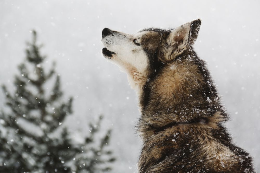 husky snow photography art prints nature