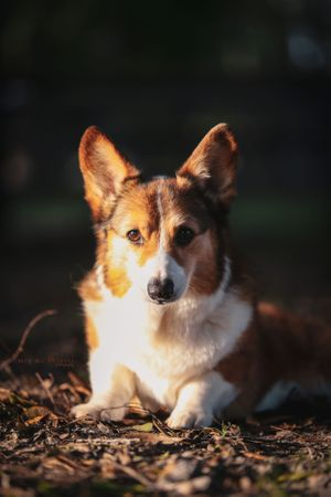 Avery the wonder corgi © Meg McGuire Photography, Georgia Equine Photographer