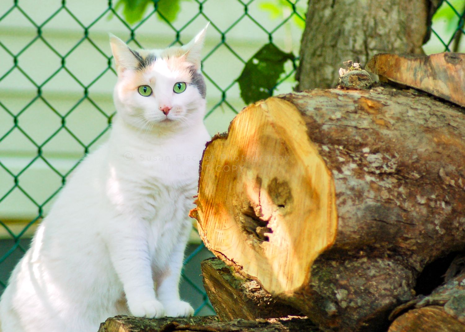white cat with green eyes with front paws on a log