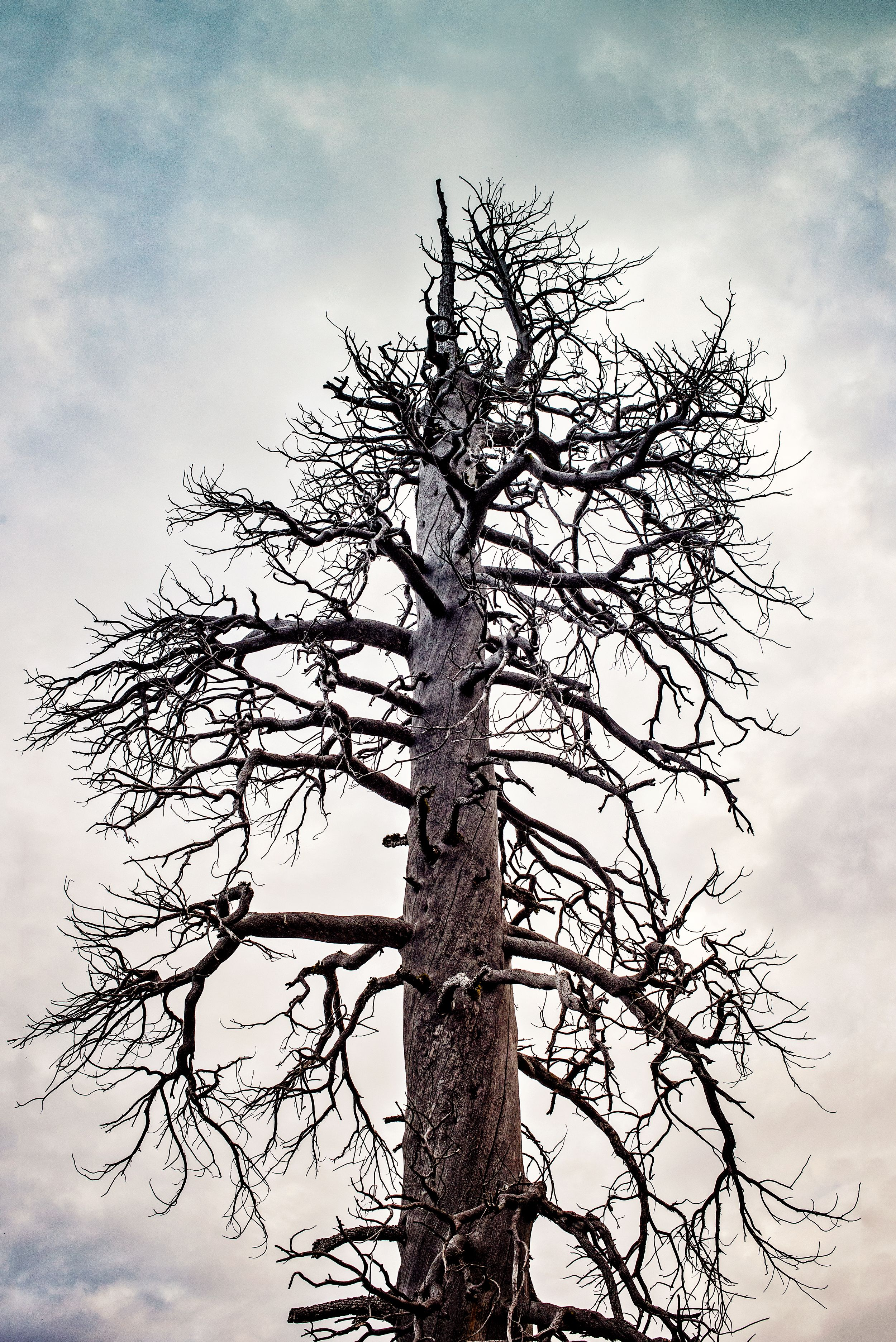 Desolation Wilderness Barren Tree by plymouth ma photographer Heidi Harting