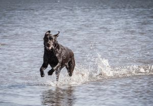 Dog Photo Shoot Broughty Ferry beach action water Labrador