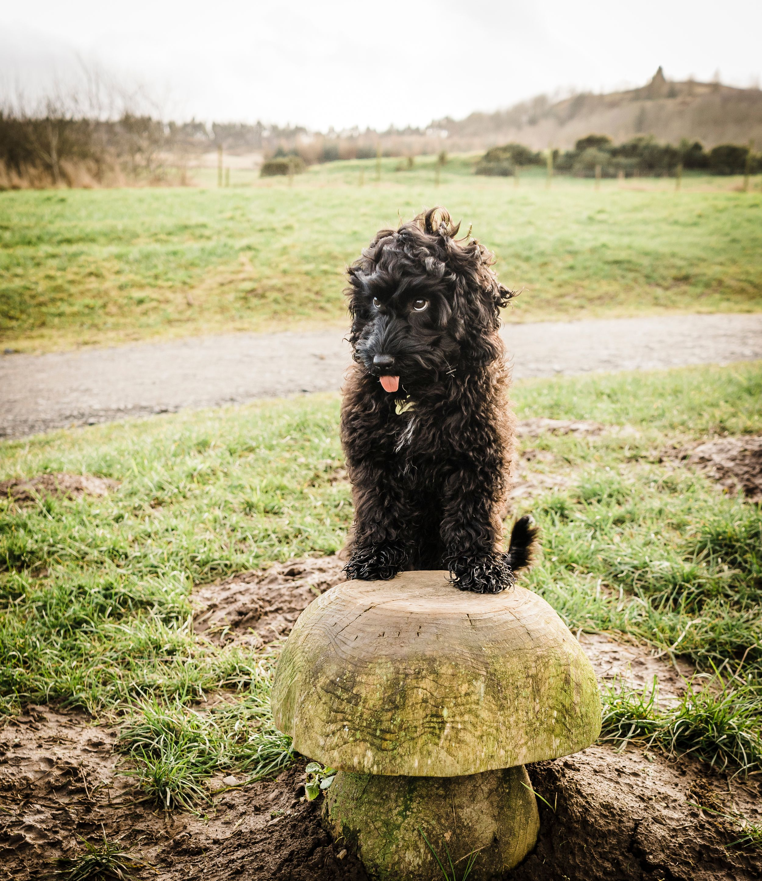 Pet Photographer perthshire cockapoo moncrieffe hill