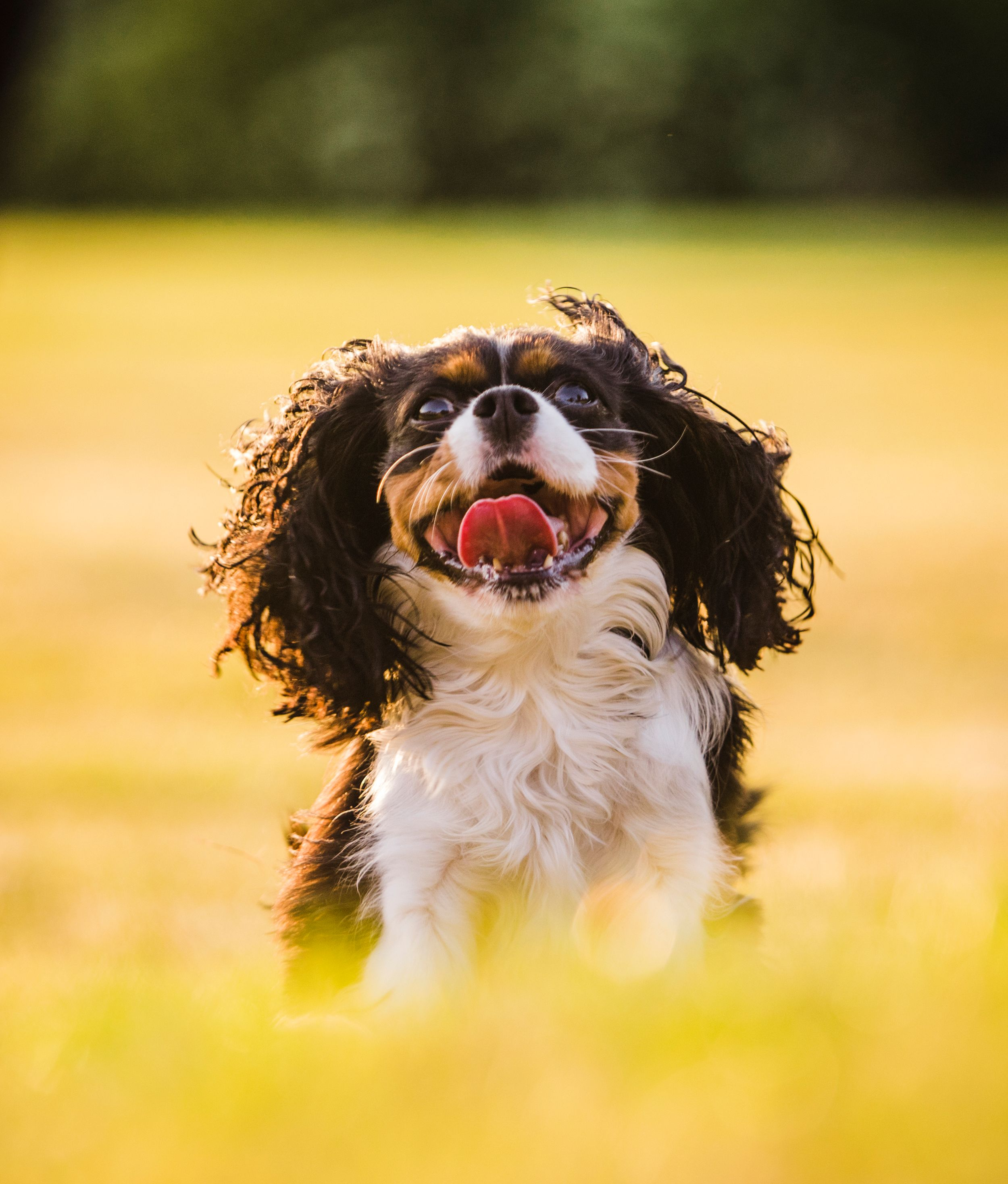Action shot dog photographer dundee Cavalier king charles spaniel scotland
