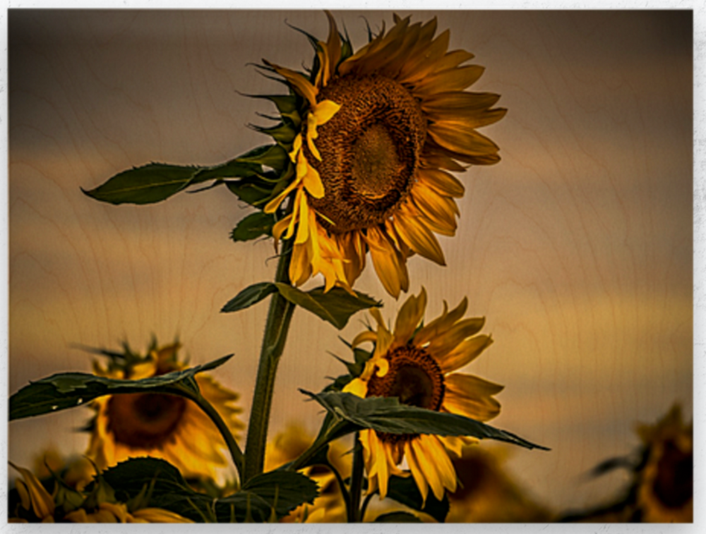 Gone with the Sunflowers by Lisa Drew photo artist on wood