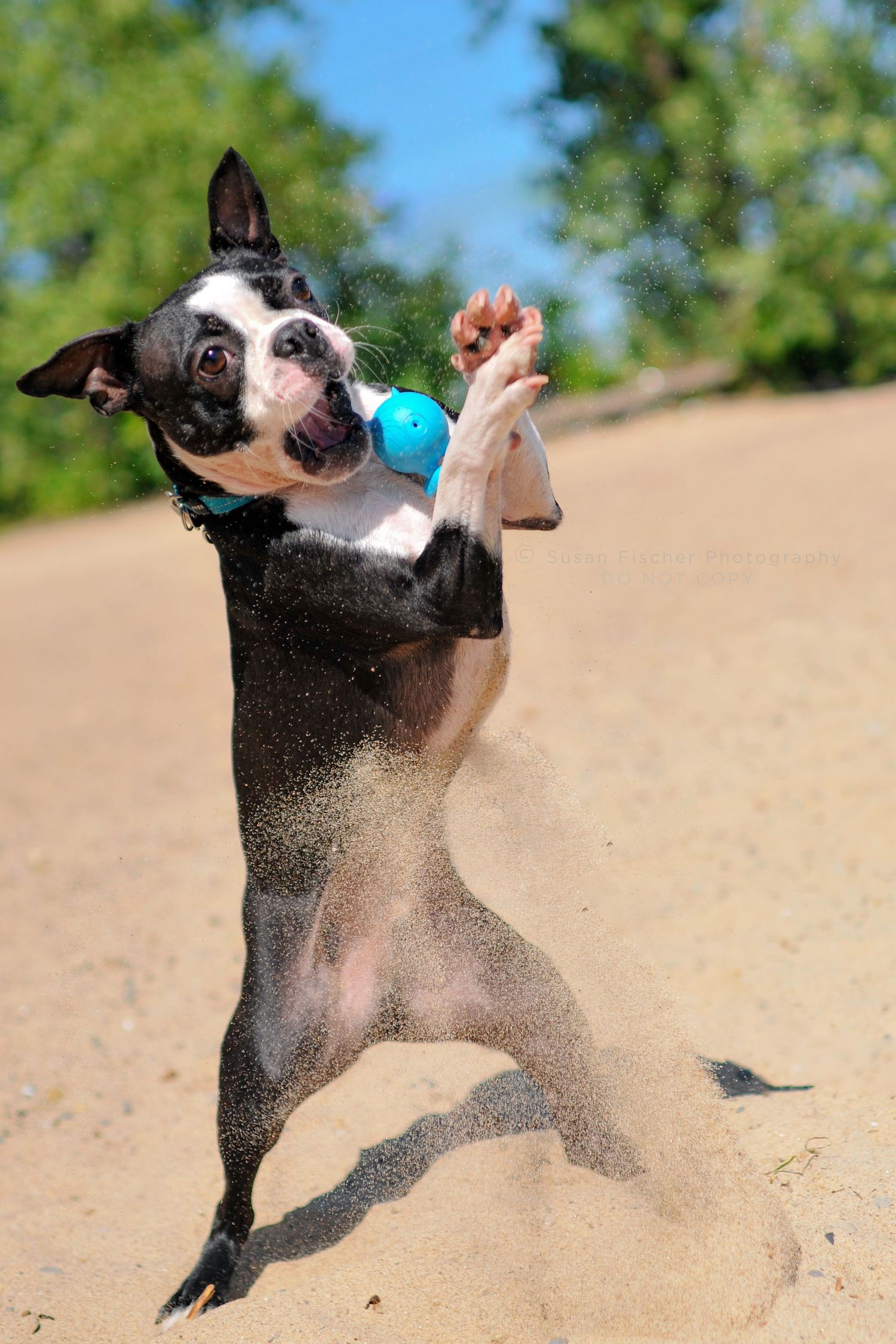 A Boston Terrier jumping to catch a ball in the sand