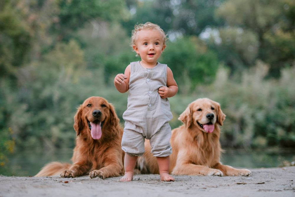 Cute toddler stands with golden retrievers