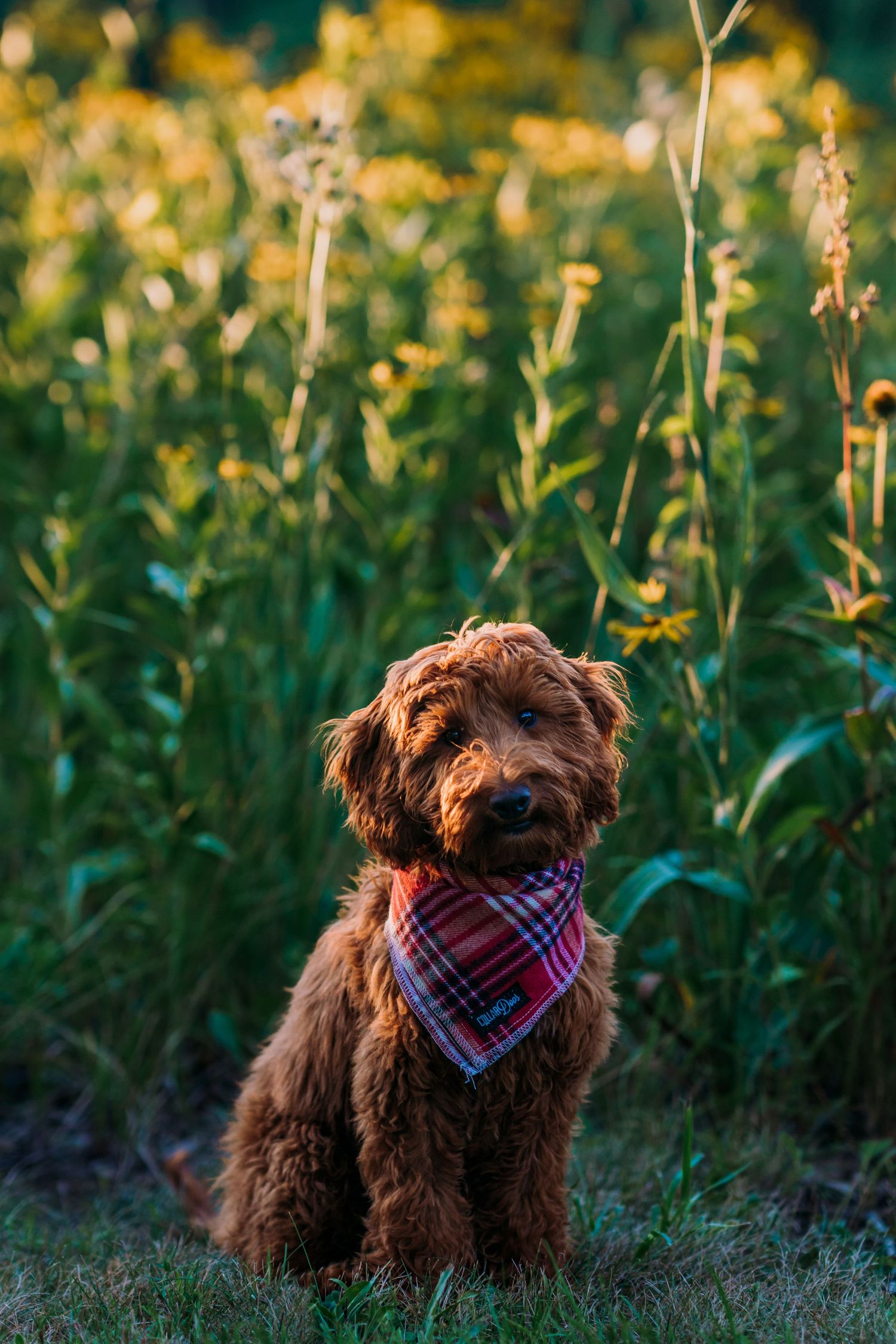 Goldendoodle photos Family pet photographer Cincinnati Ohio Dog photography Dayton Ohio