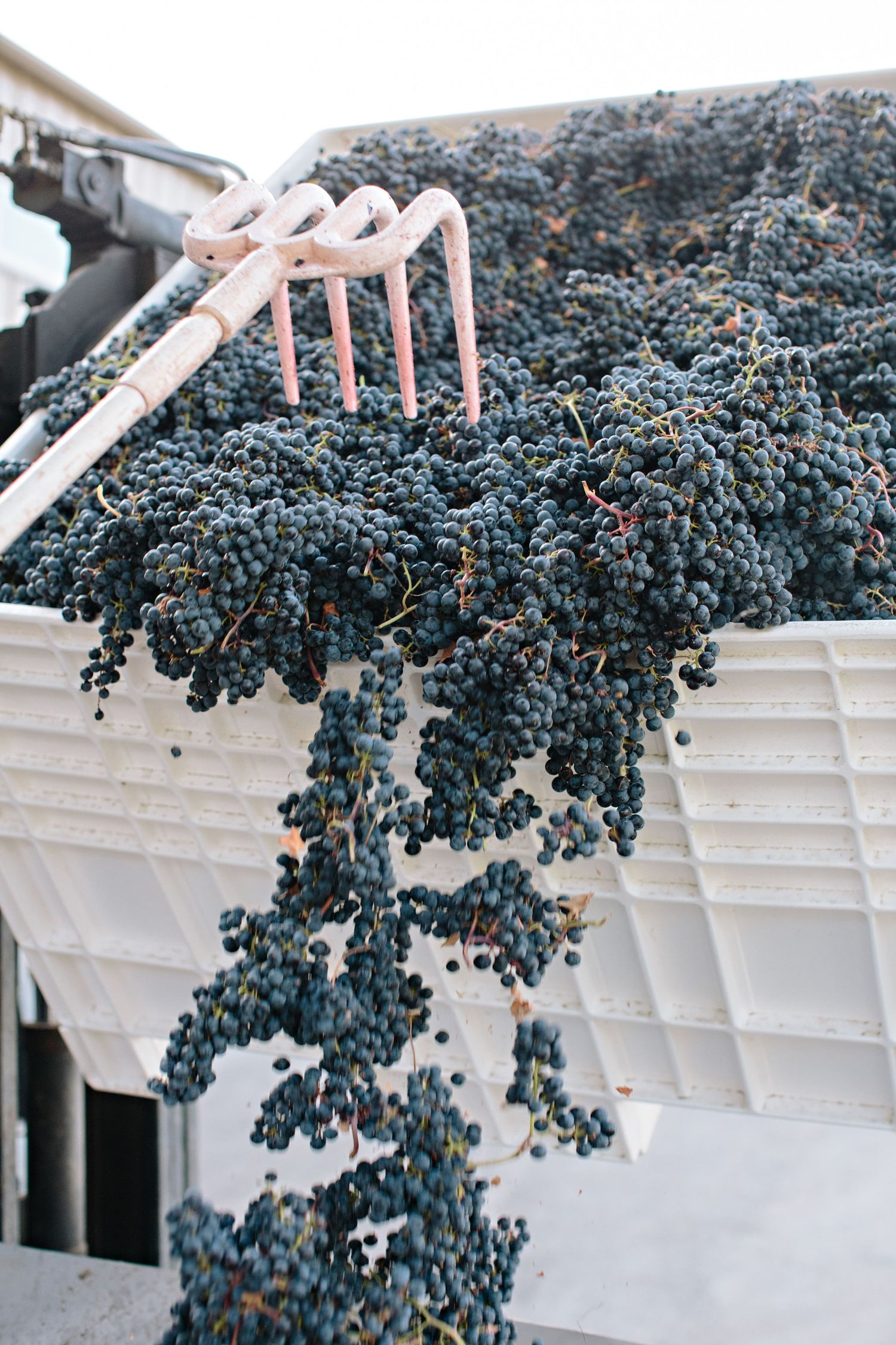 grapes falling at harvest