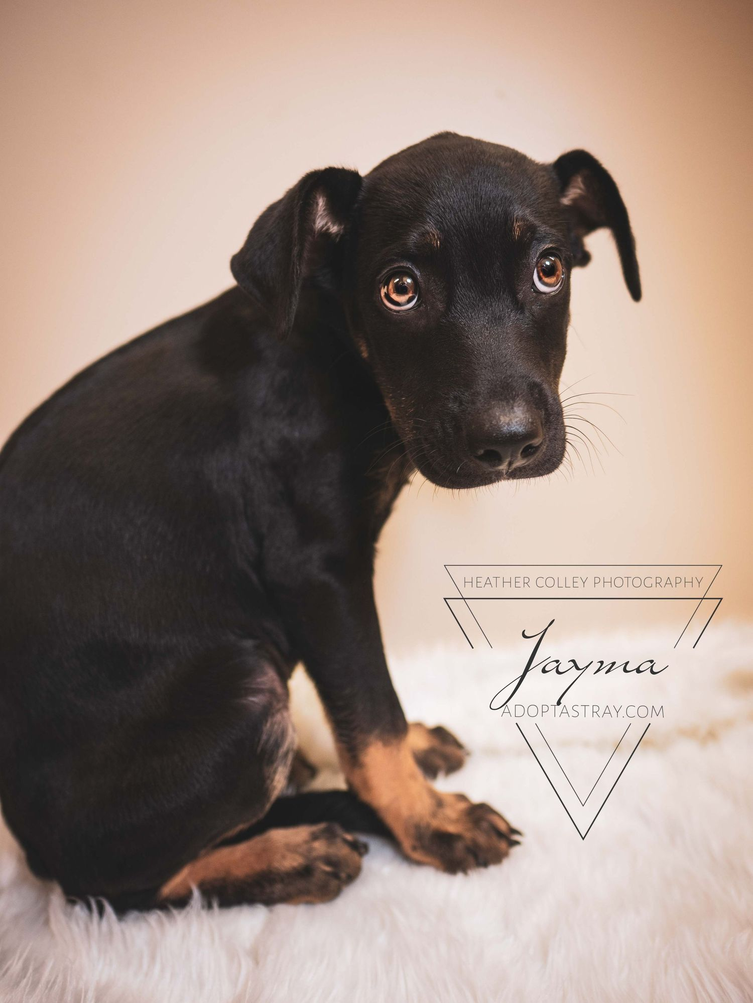 A big eyed black and tan puppy looks at you wanting a home.