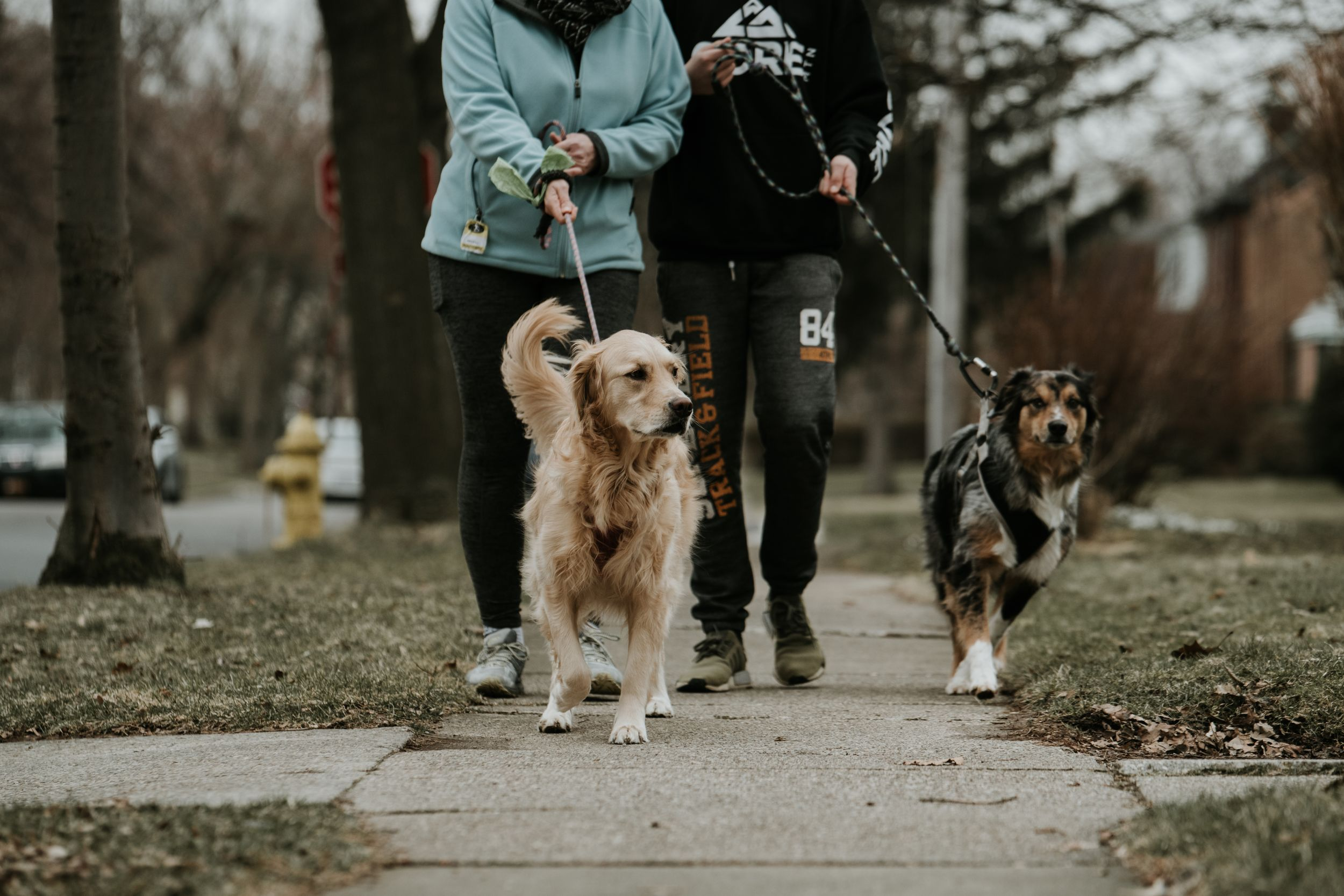 australian shepherd and golden retriever on a walk wearing kona leashes