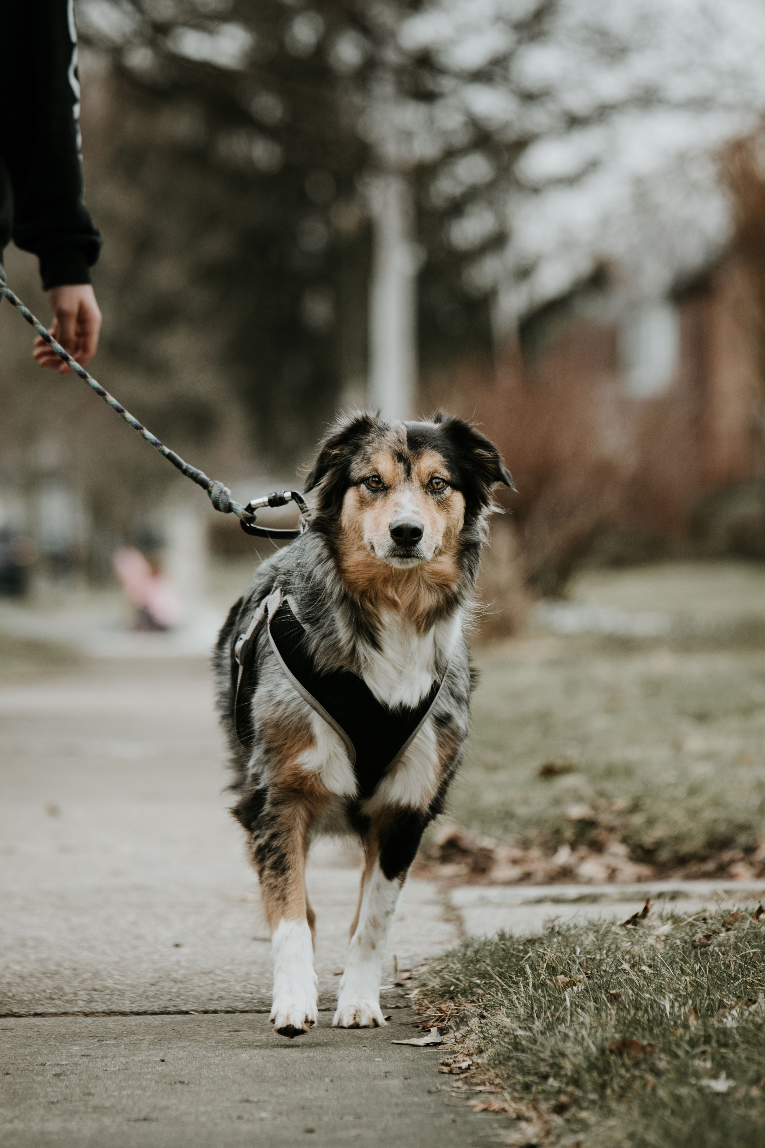 australian shepherd on a walk using a kona leash