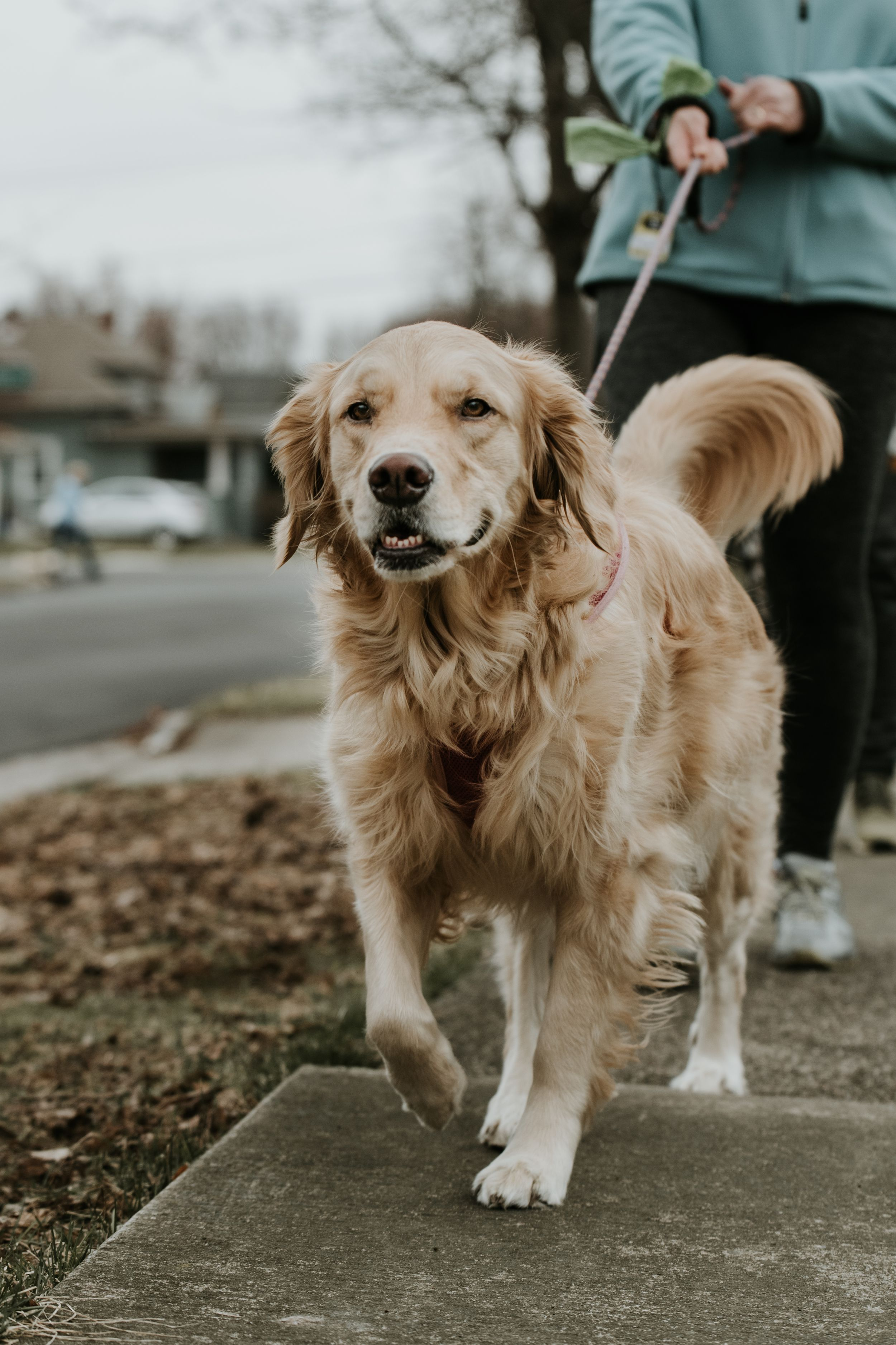 golden retriever outfor a walk wearing a kona leash