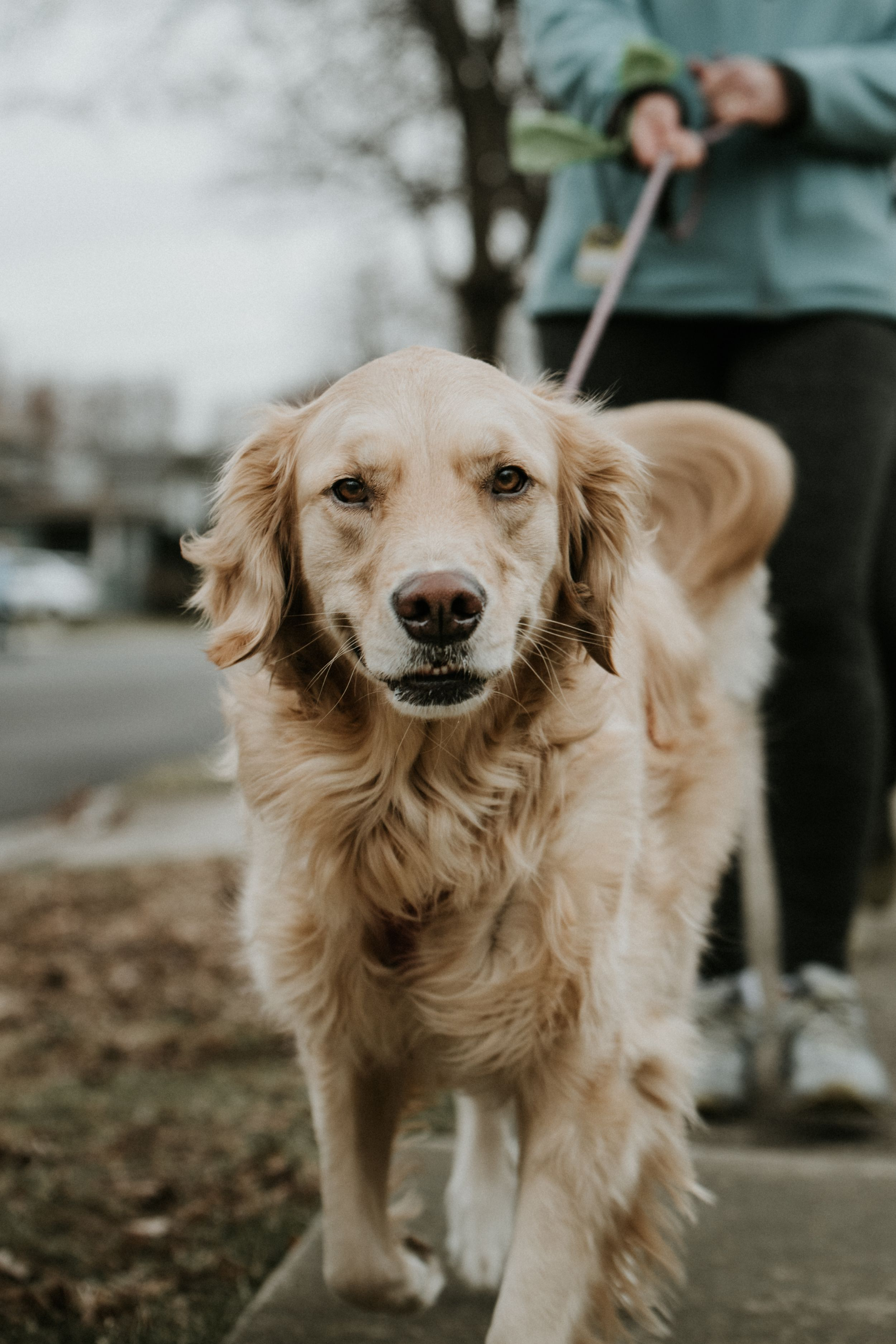 golden retriever on a walk around the nieghborhood in buffalo amherst ny wearing a kona leash
