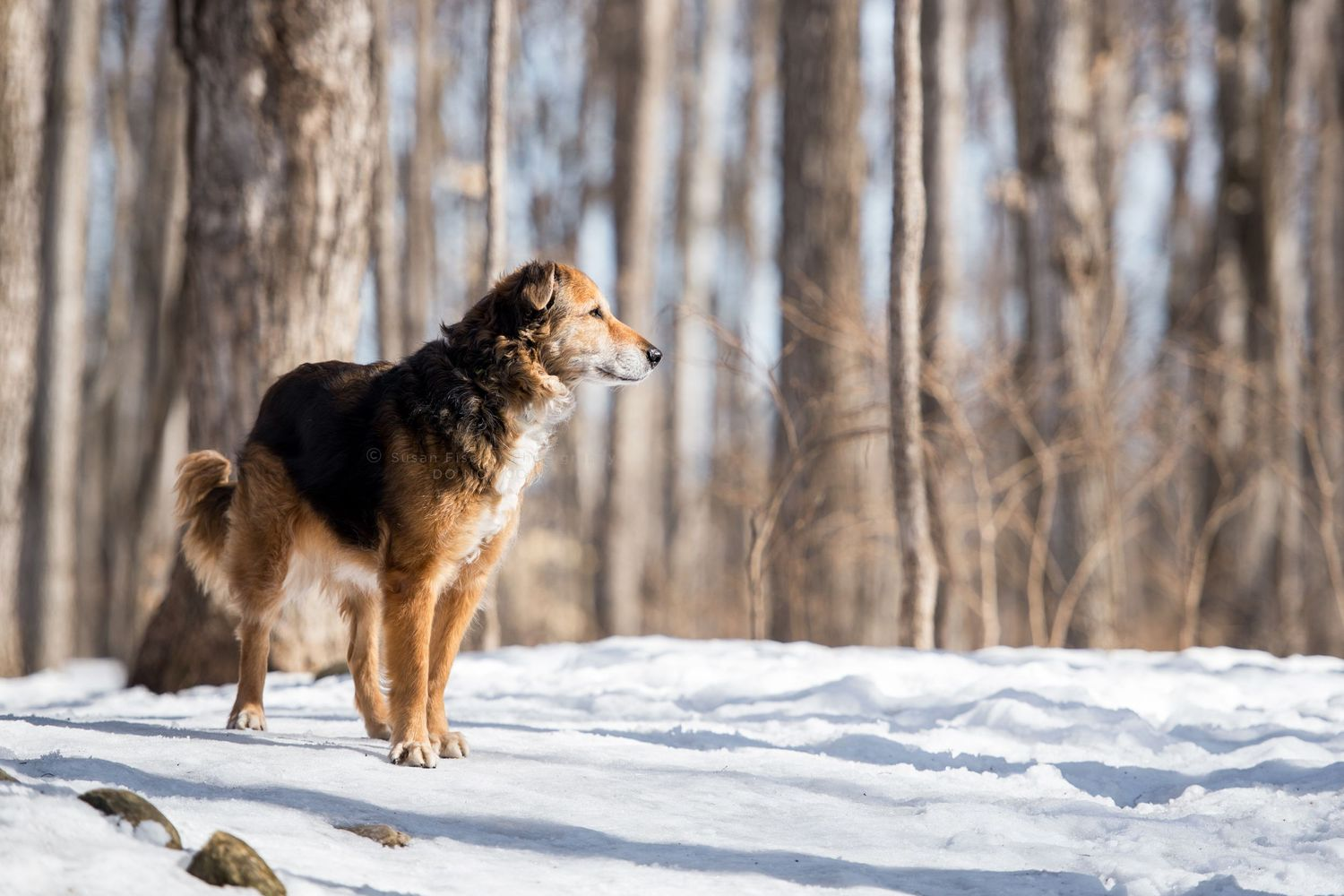 All Canadian dog in snow looking at forest
