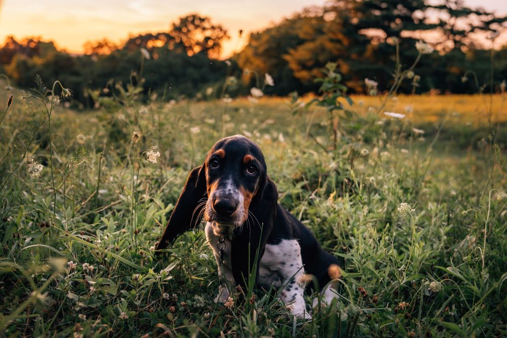 pet photographer cincinnati basset hound dog photography
