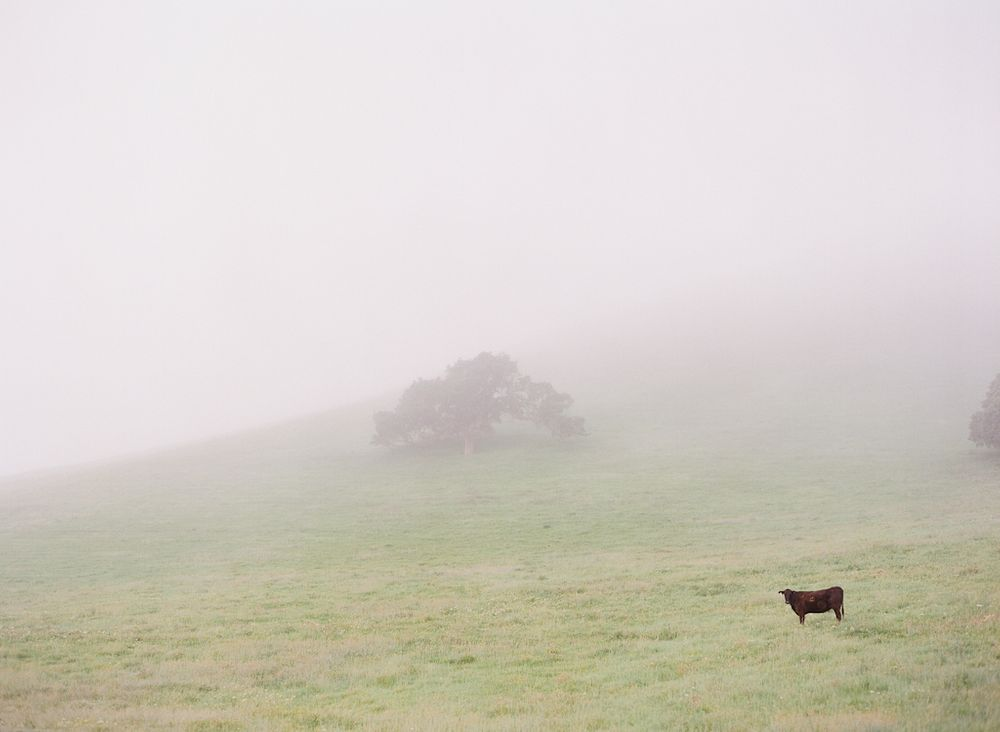 Carmel California wedding engagement photographer Aaron Snow Photography cow in field by tree fog