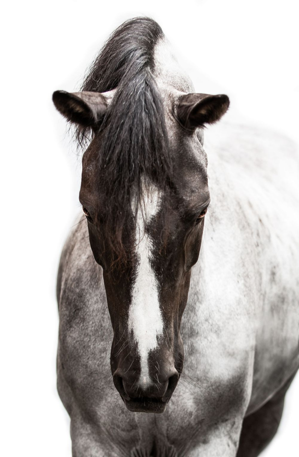 White Background Memorable And Artistic Es Equine Photography Evelyn Szczepanek