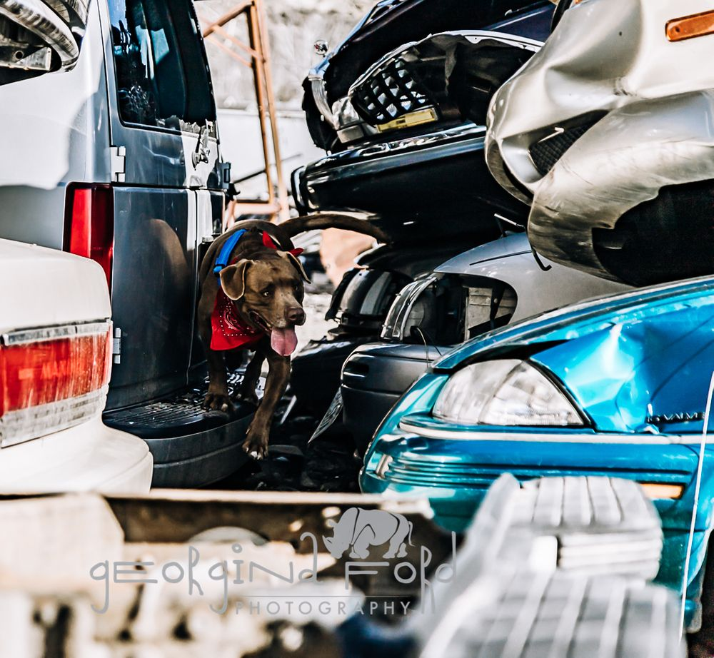 junkyard dog, Georgina Ford Photography