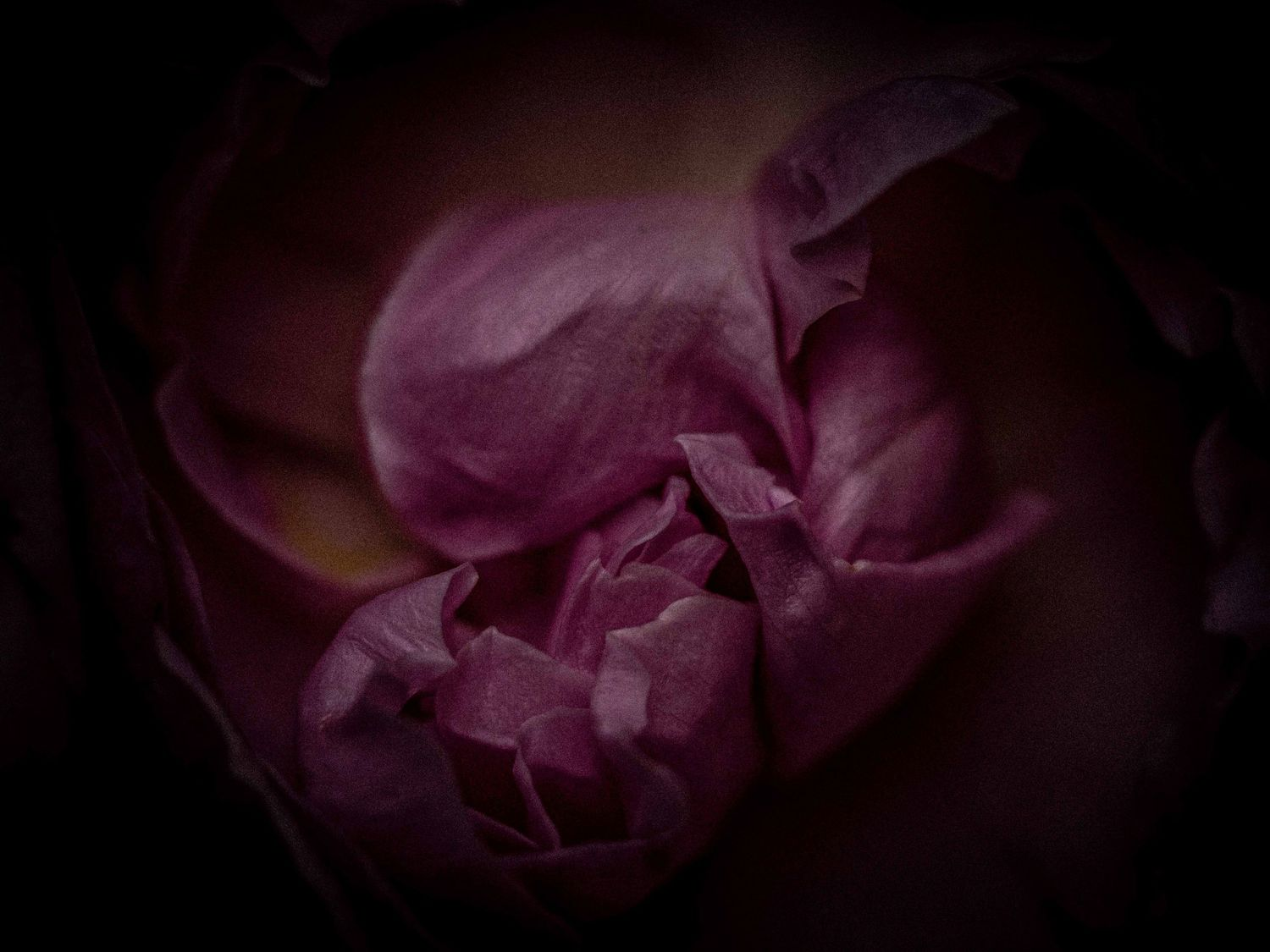 Dark and moody detail of delicate pink, purple and crimson rose blooms