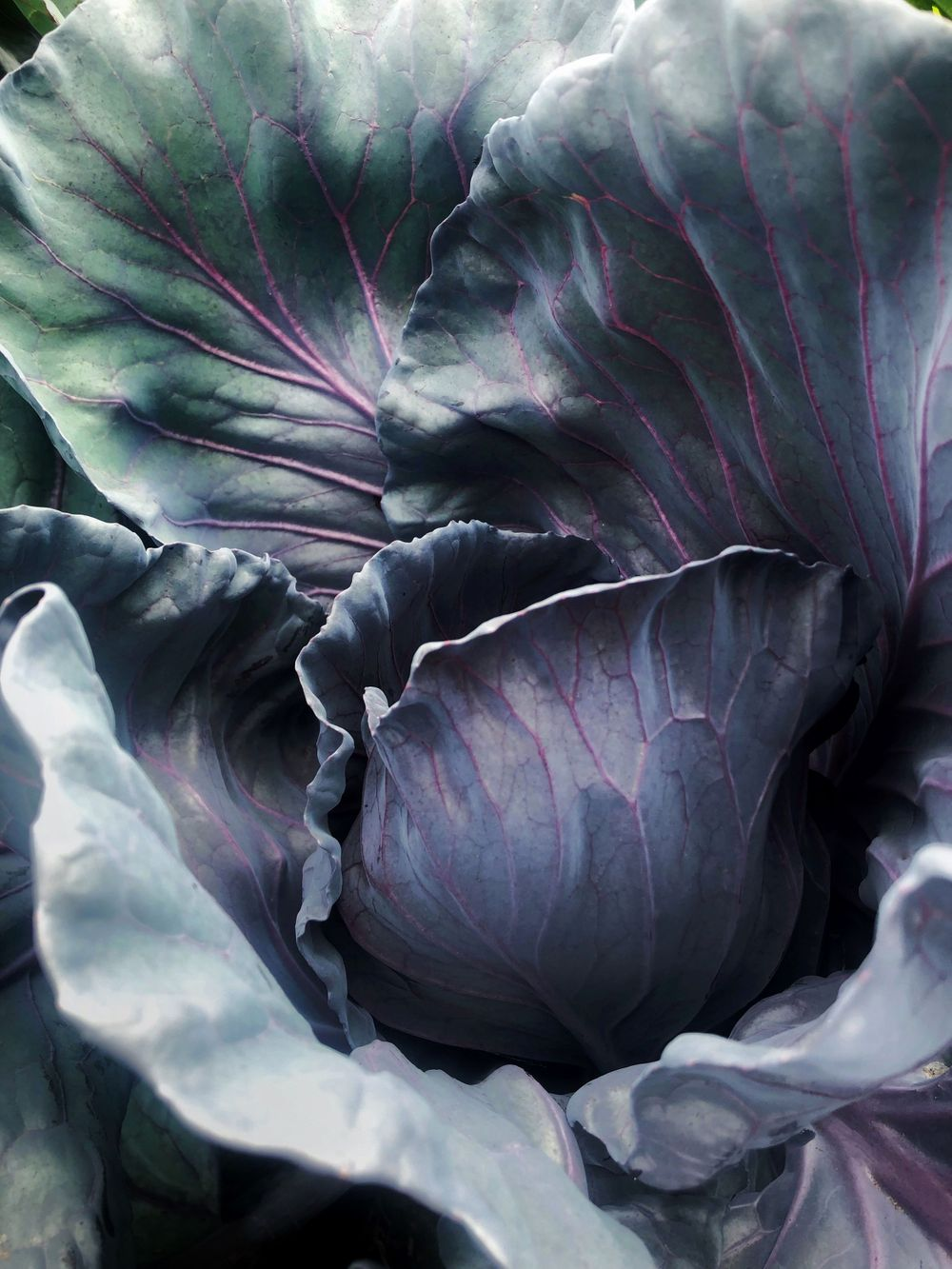 leafy colorful cabbage