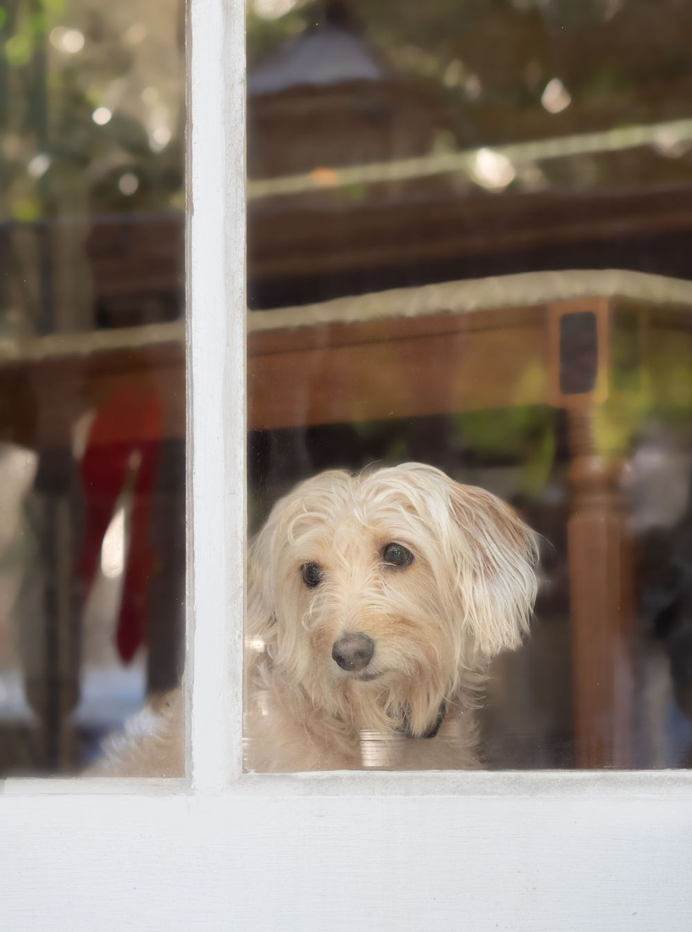 Pet Photography by Leslie Argote of White Terrier Mixed Breed Rescue Dog looking through the window
