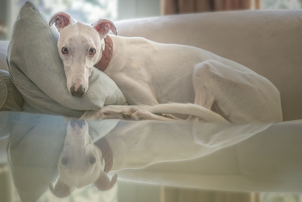 Leslie Argote Pet Portfolio of White Greyhound Lying on the Sofa in a Contemporary Interior