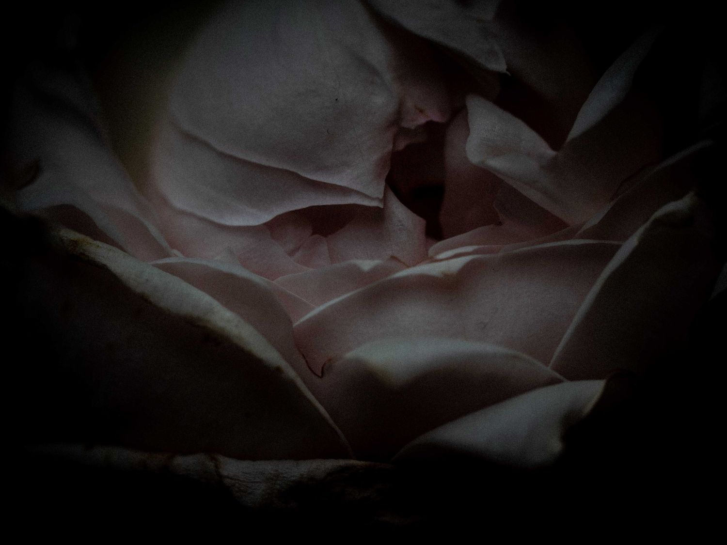 Moody but beautiful withering pale pink roses past their bloom