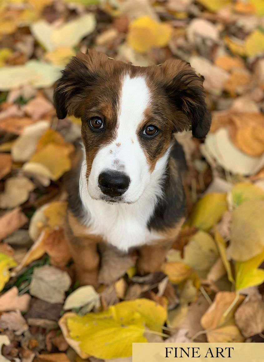 Shepherd Puppy in Autumn Leaves by Zurich Photographer Leslie Argote