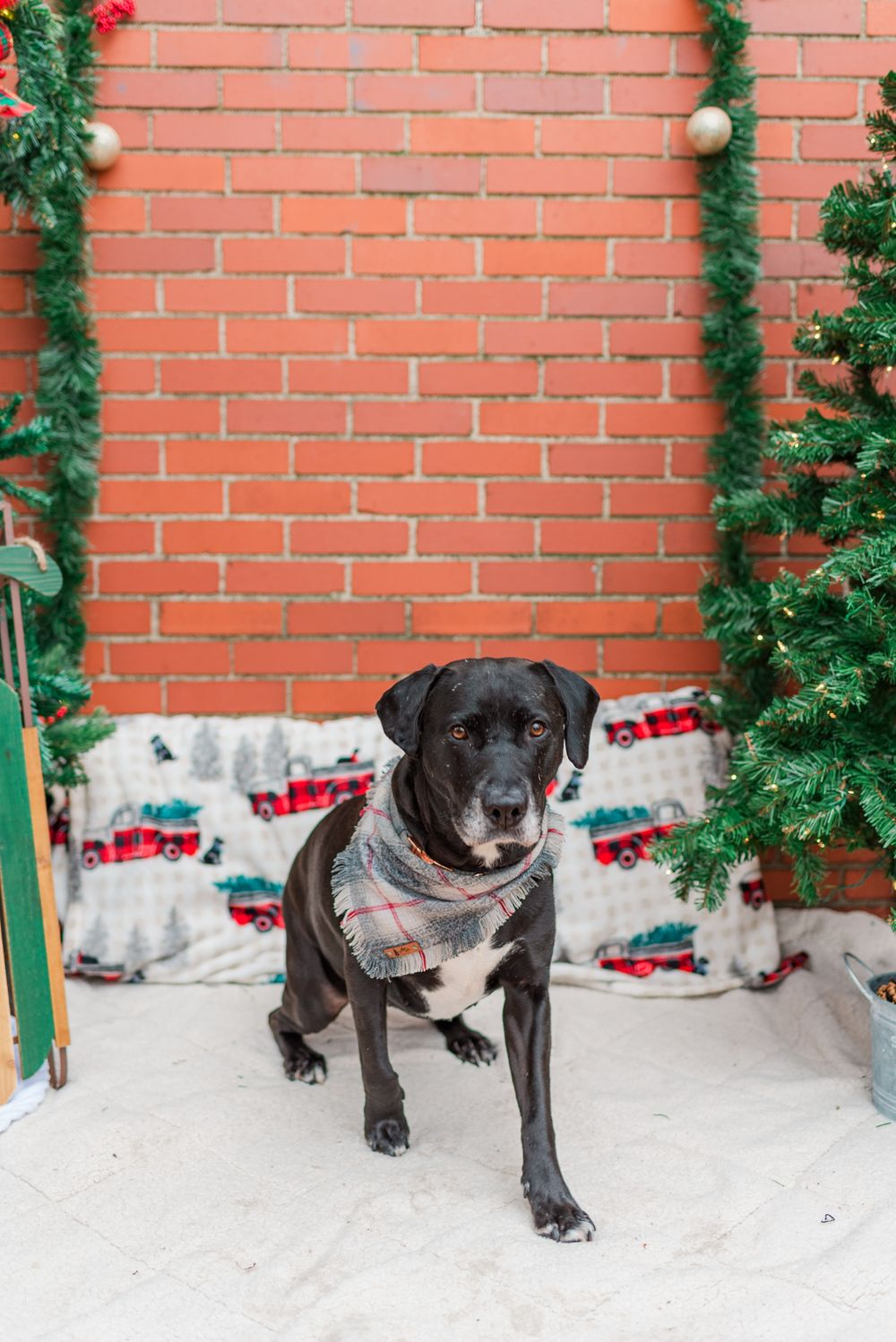 Dog sitting in front of holiday Christmas shoot with surprise proposal in Pittsburgh, Pennsylvania