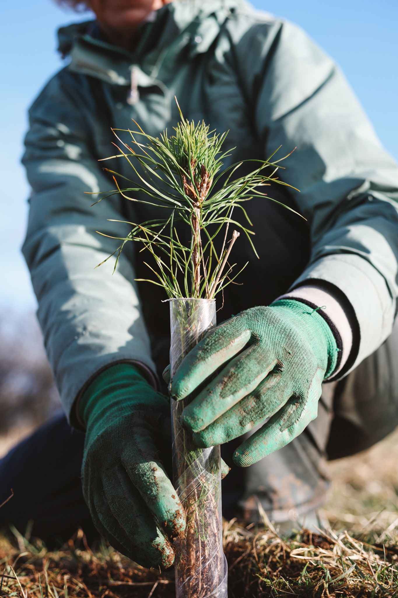Planting trees for the planet in Scotland. Native Scots pine sapling