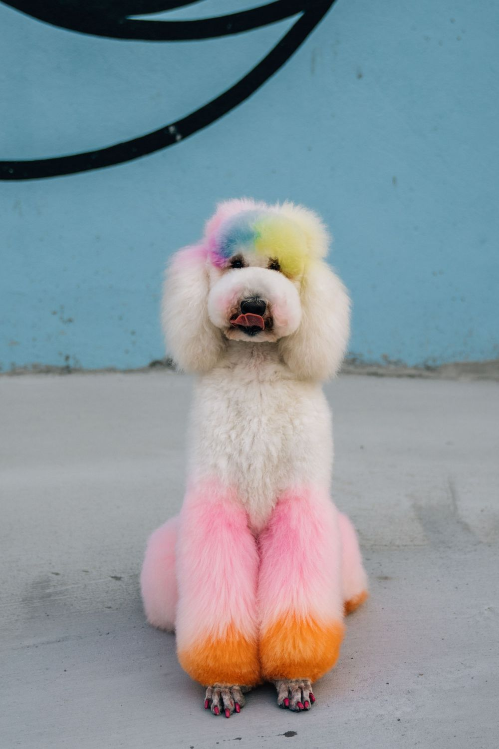 colorful poodle creative grooming over-the-rhine findlay market cincinnati pet photographer dog photography dayton