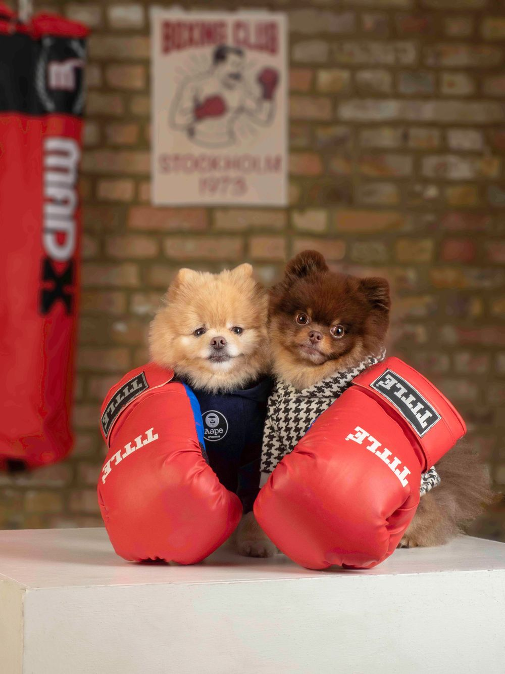 Cedric and Kobe the Pomeranians in 'He is Your Brother'