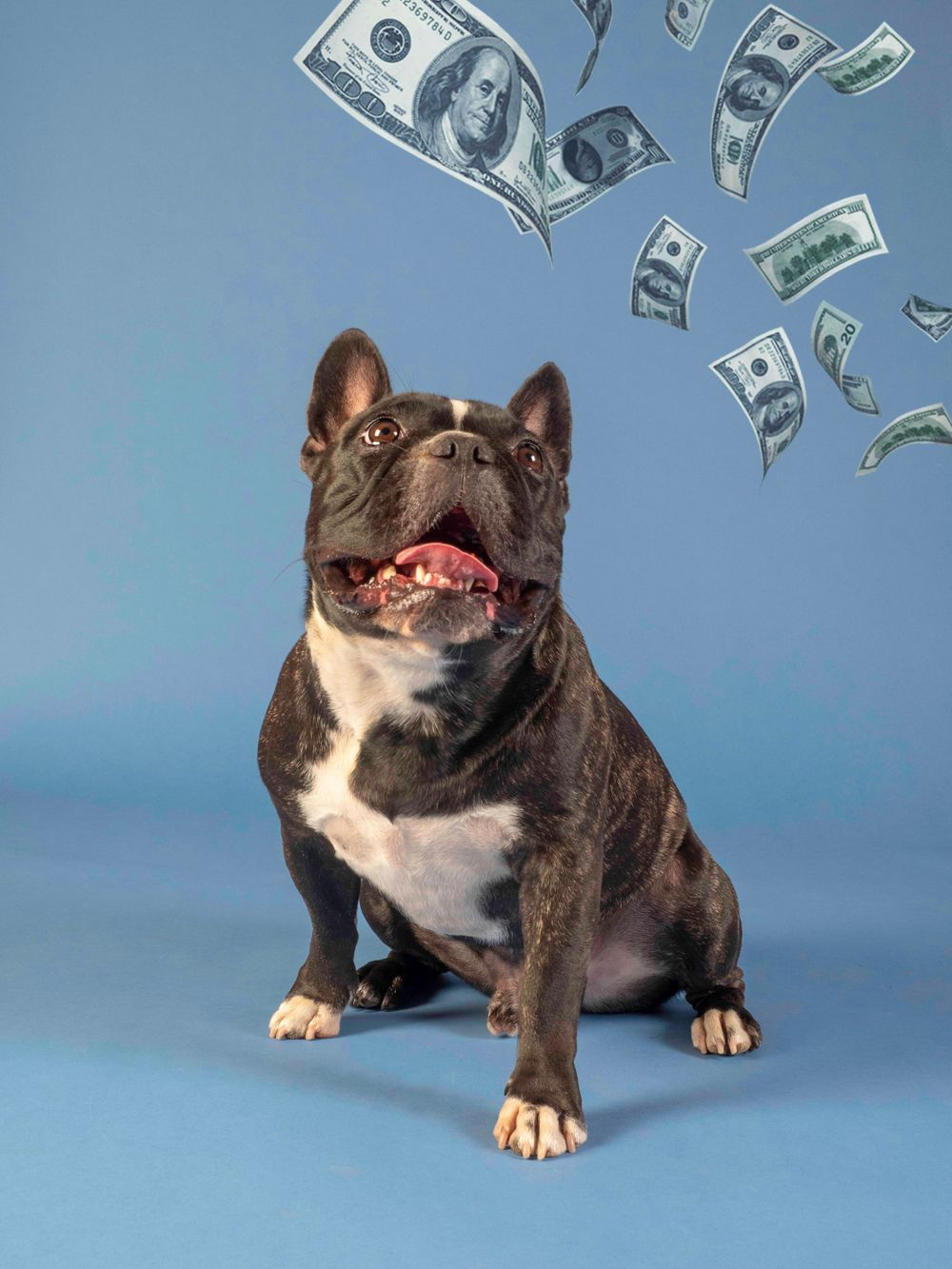 'Money, Money, Money' featuring rescue French Bulldog Loki
