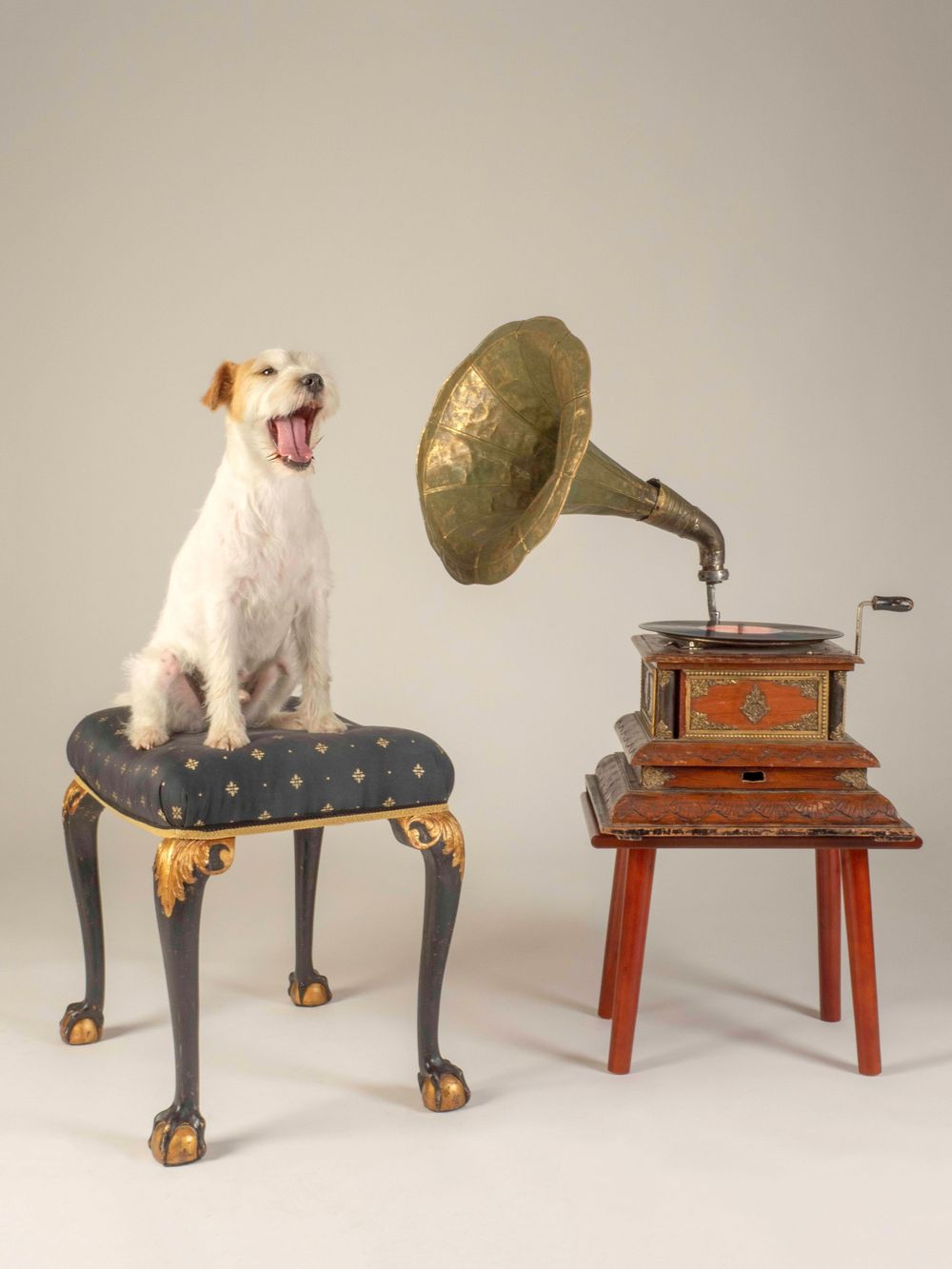 Parsons jack Russel Wiggo says 'Thank you for the Music'
