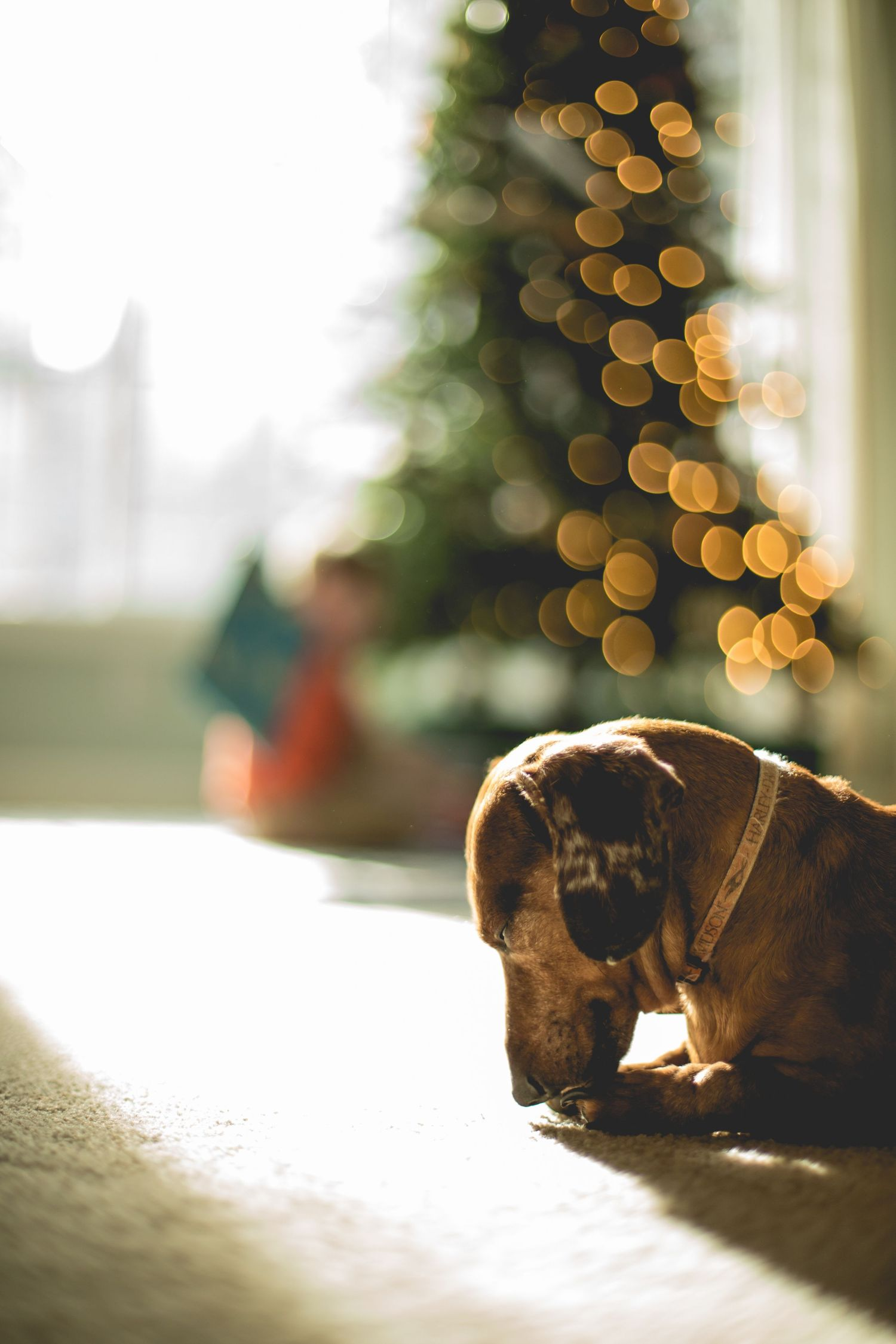 dachshund licking paws in front of Christmas tree