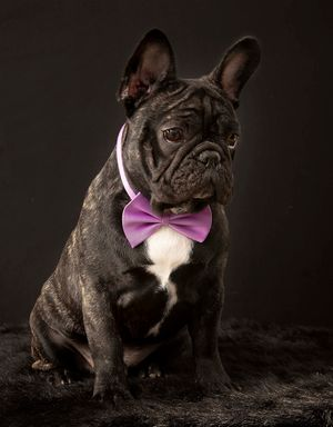 Pet photographer french bulldog portrait