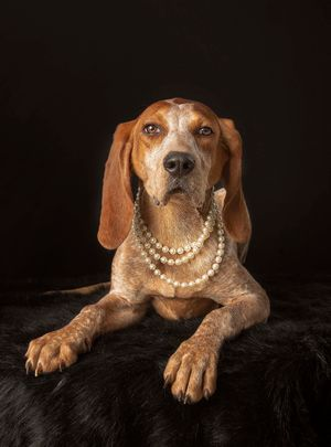 Dog photographer dressed up hound