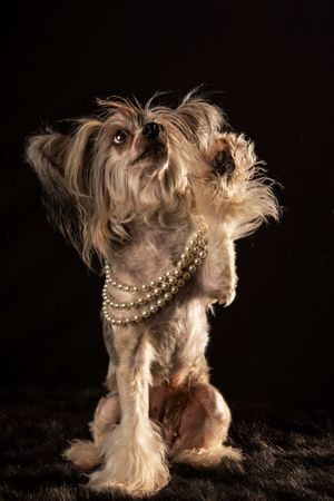 Animal Photographer crested in pearls