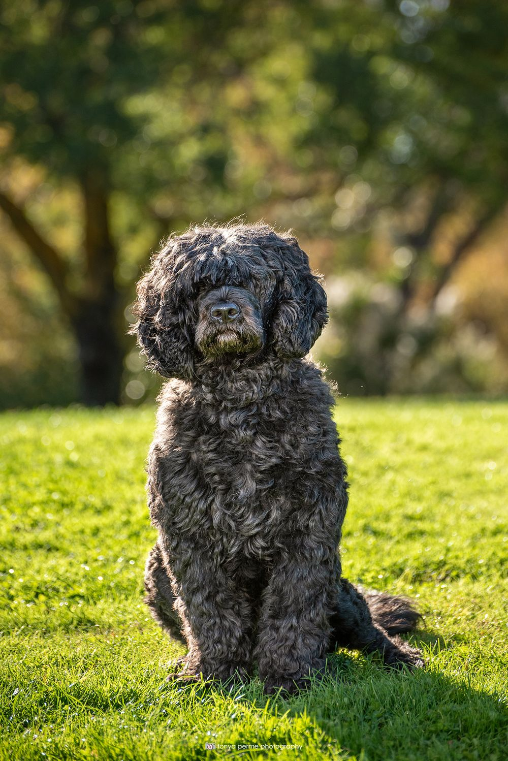 Portuguese Water Dog in Bay Area park