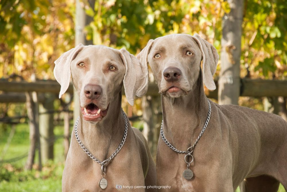 Weimaraners in front of California grapevines