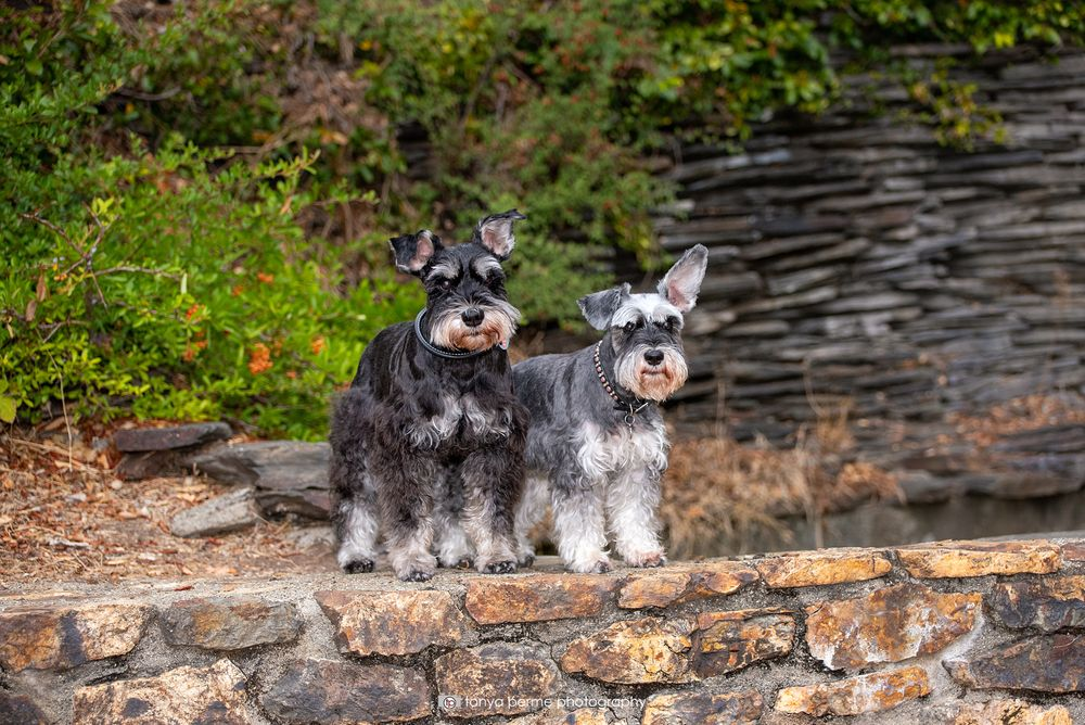 Miniature Schnauzers on rock wall at East Bay park