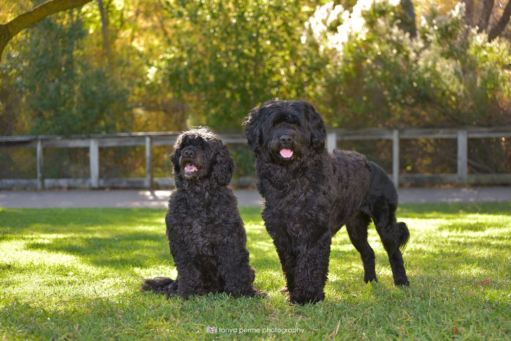 Portuguese Water Dogs at Bay Area park