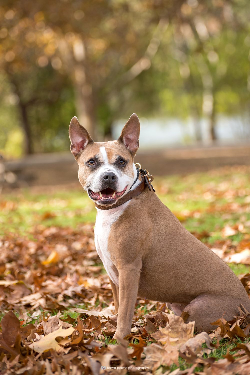 pit bull mix in autumn leaves