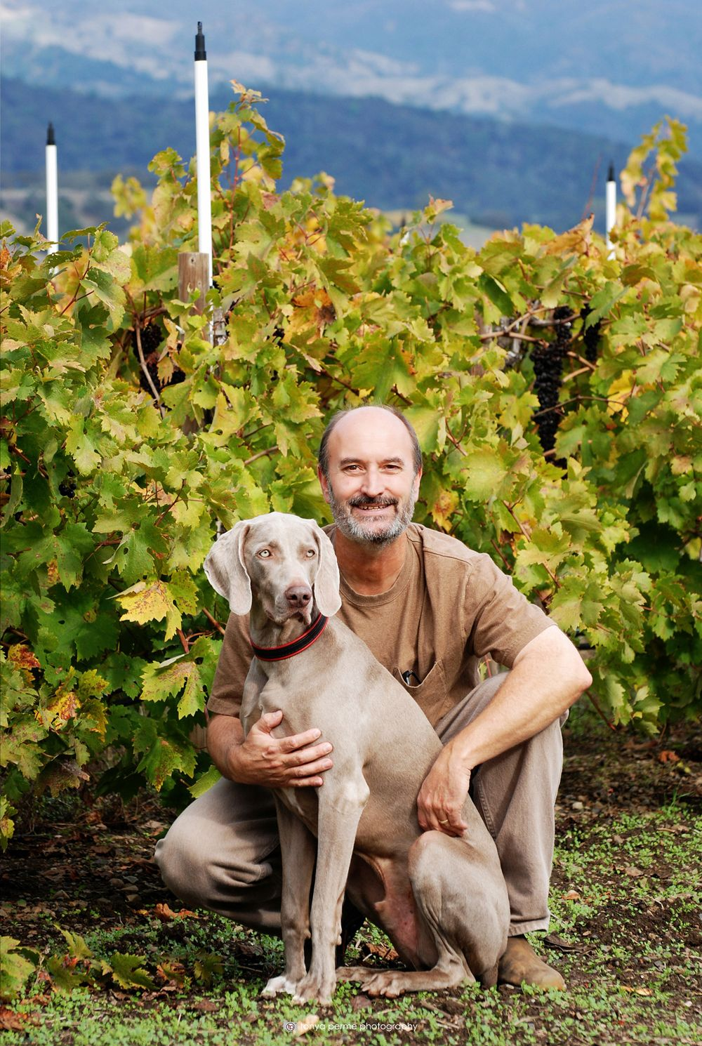 Weimaraner with man in front of California grapevines