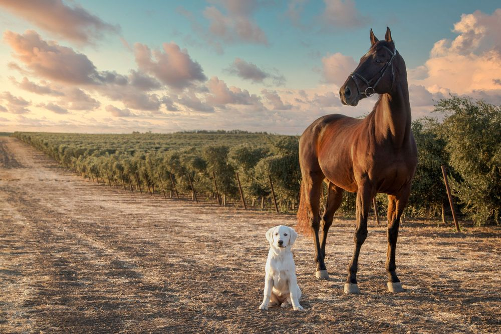A yellow lab puppy sitting next to a chestnut horse, standing in front of an olive grove