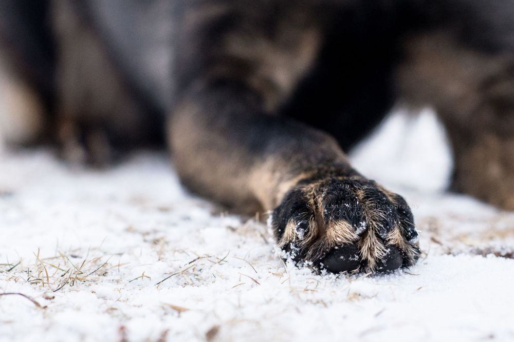 dog paw in snow