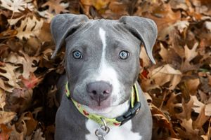 blue pitbull puppy sitting in leaves
